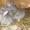 Прививаем кроликов в домашнем подворье